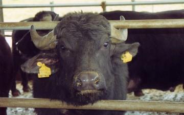 Allevamento bufalino