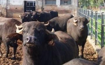 Azienda Agricola Improsta Bufale