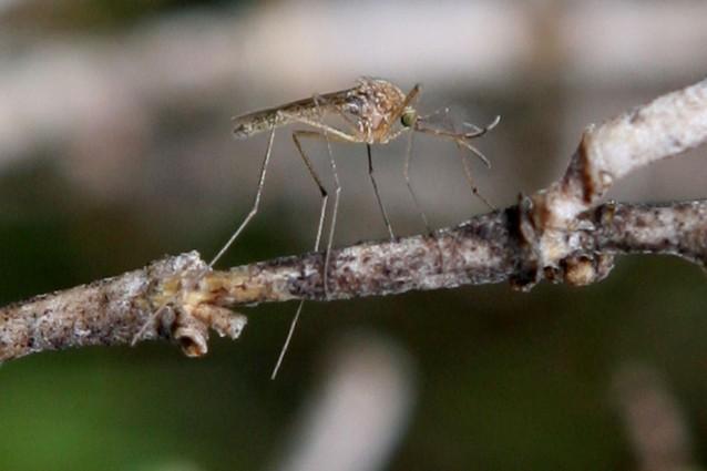 La-febbre-del-Nilo-zanzara