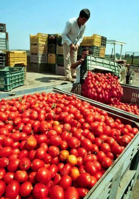 Pomodori-raccolta