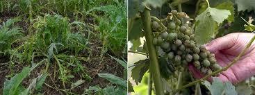 carciofi-e-coltivazioni-distrutti